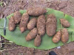 Hướng dẫn trồng và chăm sóc khoai từ cho nhiều củ