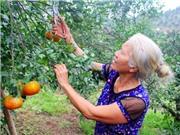 Đặc sản cam bù Hương Sơn giúp dân thoát nghèo