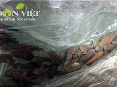 Nông dân Nam Định dễ dàng thu tiền tỷ nhờ cá bống bớp
