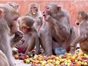 """Clip: """"Băng đảng"""" khỉ ăn trộm nông sản của người dân"""