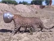 Clip: Báo đốm bị mắc kẹt đầu trong nồi