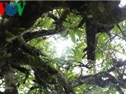 Hình ảnh tuyệt đẹp về đặc sản chè cổ thụ ở vùng cao Tà Xùa