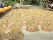 Đặc sản gạo nếp gà gáy Mỹ Lung đắt giá và đắt hàng
