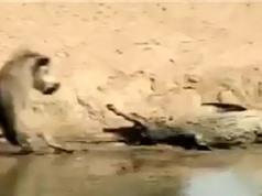 """Clip: Heo rừng suýt bỏ mạng vì """"trêu ngươi"""" cá sấu"""