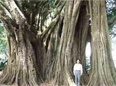 Bí ẩn cây da 400 tuổi là nơi trú ngụ của rắn độc
