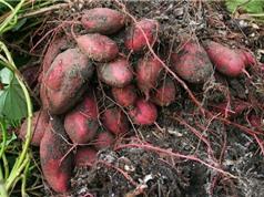Kỹ thuật trồng và chăm bón khoai lang cho nhiều củ