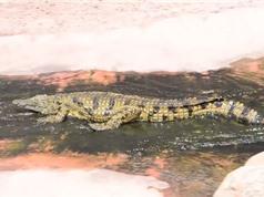 Clip: Ngạc nhiên với cảnh cá sấu thi nhau trượt máng nước