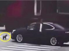Clip: Cô chủ bị ngã, chú chó đuổi theo chặn đầu xe gây tai nạn