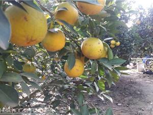 Ảnh hưởng của điều kiện đất đai tới chất lượng cam Vinh