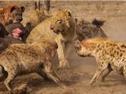 """CLIP ĐỘNG VẬT ĐẠI CHIẾN ẤN TƯỢNG NHẤT TUẦN: Sư tử bị """"đánh hội đồng"""", báo bắt trộm chó"""