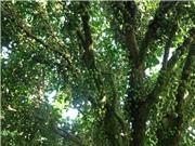 Hậu Giang: Lạ kỳ vườn dâu có quả mọc phủ kín thân cây, nặng trăm ký