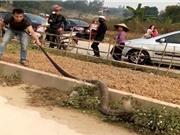 Clip: Bắt sống rắn hổ mang chúa nặng 14 kg ở Phú Thọ