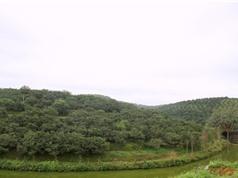 Ngọt, thơm đặc sản cam bù Hương Sơn, Hà Tĩnh