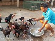 Nhà nông cho gà uống nước đá lạnh để chống nắng nóng 41 độ C