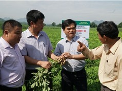 Xen canh lạc, đậu với mía tăng thêm thu nhập 15 triệu/ha