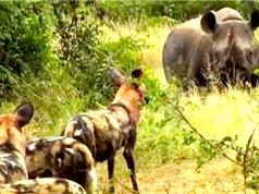 Clip: Bầy chó hoang trả giá đắt cho việc săn tê giác