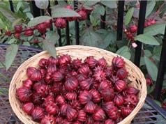 Kỹ thuật trồng và chăm sóc cây atiso đỏ trên sân thượng