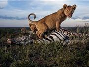 Clip: Cận cảnh những pha săn mồi tàn khốc của động vật