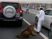 """Clip: Đại gia Qatar """"đau đầu"""" khi hổ dữ làm nũng"""