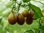 Cà chua chocolate đạt năng suất 40 tấn mỗi ha