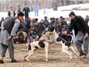 Clip: Màn chọi chó kinh hoàng ở Afghanistan