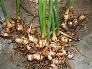 Kỹ thuật trồng và chăm sóc cây riềng tại nhà