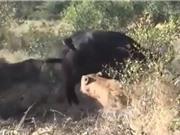"""Clip: Trâu rừng phản đòn khiến 2 con sư tử """"chạy mất dép"""""""