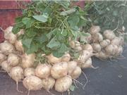 Phương pháp trồng và chăm sóc cây củ đậu trong thùng xốp