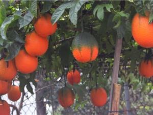 Mẹo trồng và chăm sóc cây gấc cho quả sai trĩu