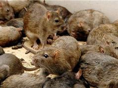 Thảm họa chuột chạy lũ càn quét làng mạc ở Myanmar