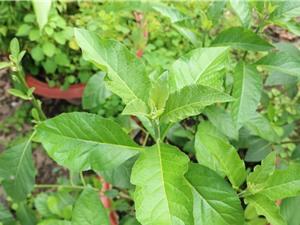Tác dụng của cây lá đắng (mật gấu)