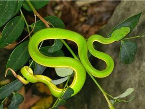 Những loài rắn độc nhất Việt Nam