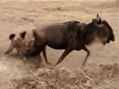 Clip: Linh dương đầu bò thoát chết ngoạn mục trước miệng linh cẩu