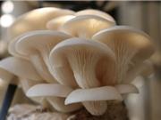 Kỹ thuật trồng và chăm sóc nấm bào ngư tại nhà
