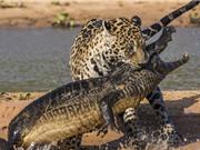 """CLIP ĐỘNG VẬT ĐẠI CHIẾN ẤN TƯỢNG NHẤT TUẦN: Báo """"xử đẹp"""" cá sấu, trăn nôn ra bò sữa"""