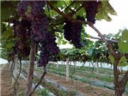 Trồng nho giống mới tại Lạng Sơn