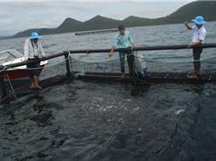 Kiên Giang phát triển nghề nuôi cá biển công nghệ Na Uy