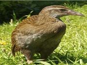 """10 loài chim """"có cánh không biết bay"""" trong tự nhiên"""