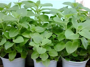 Cách trồng và chăm sóc húng chanh làm thuốc