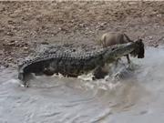 """Clip: Cá sấu khổng lồ bò lên bờ """"nhặt"""" linh dương đầu bò"""