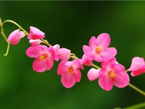 Ngắm nhìn vẻ đẹp tuyệt mỹ của loài hoa tim vỡ