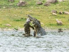 Clip: Ghê rợn cảnh cá sấu ăn thịt đồng loại