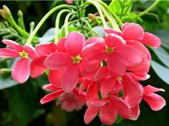 Sử quân tử - loài hoa mang ý nghĩa của tình yêu