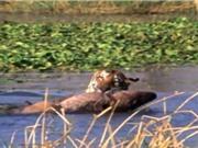 Clip: Hổ dữ liều mạng cướp mồi của cá sấu