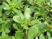 Một số công dụng chữa bệnh thần kỳ của cây rau sam