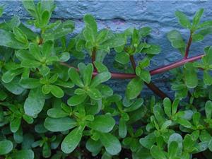 Quy trình trồng và chăm sóc rau sam vừa làm rau ăn, vừa làm thuốc quý