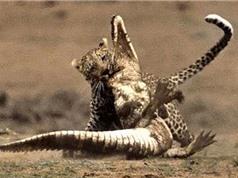 Cá sấu chết thảm trước nanh vuốt của báo hoa mai