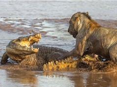 """Cá sấu bị sư tử """"tẩn nhừ xương"""" khi giành xác voi"""