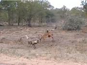 Clip: Bị cắn lòi ruột, linh dương Impala vẫn tử chiến với bầy chó hoang