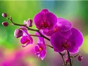 Ngắm nhìn vẻ đẹp quý phái, sang trọng của nữ hoàng các loài hoa lan